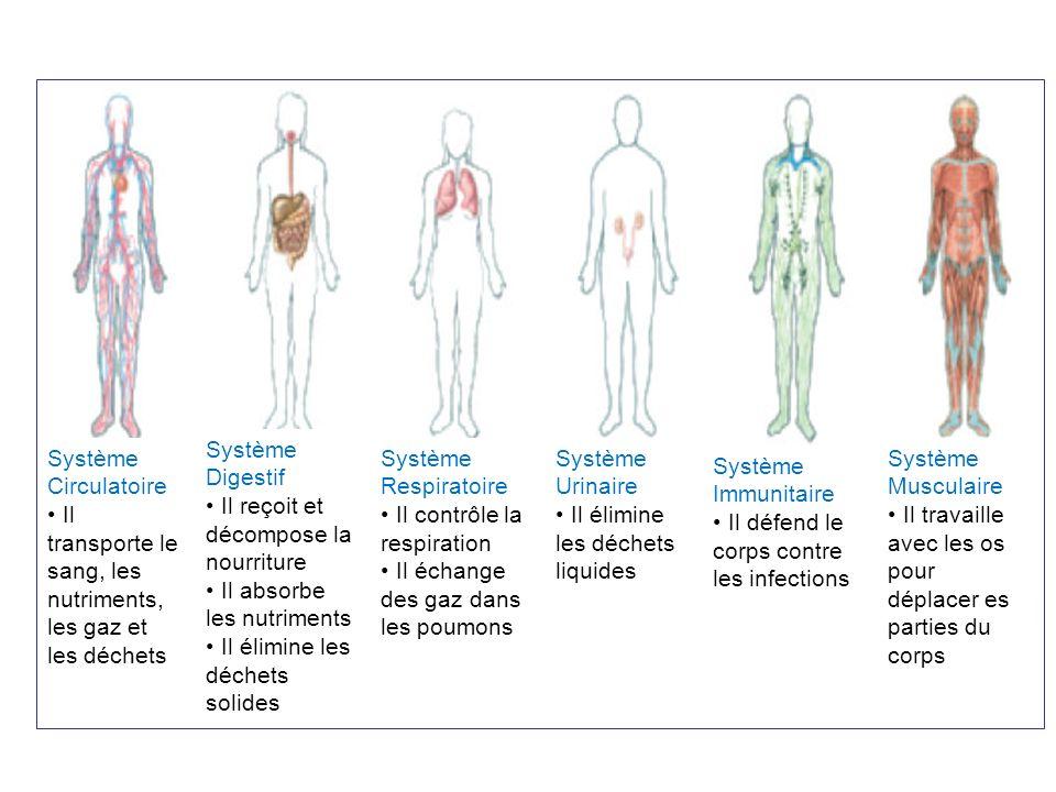 Le Système Respiratoire : Exchange de Gaz Léchange de gaz entre les systèmes respiratoire et circulatoire se passe dans les alvéoles.