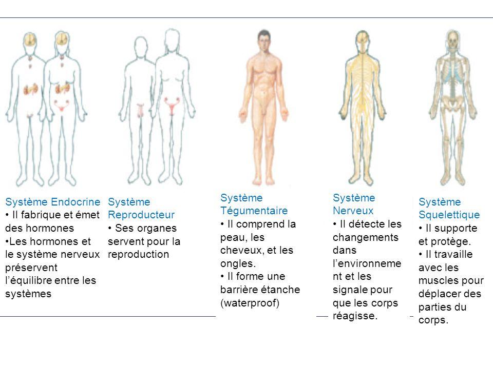 Système Endocrine Il fabrique et émet des hormones Les hormones et le système nerveux préservent léquilibre entre les systèmes Système Reproducteur Se