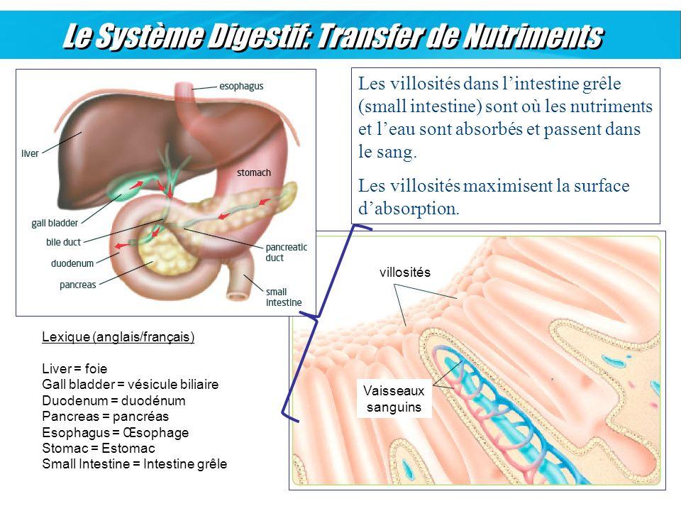 villosités Vaisseaux sanguins Le Système Digestif: Transfer de Nutriments Les villosités dans lintestine grêle (small intestine) sont où les nutriment