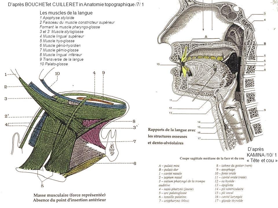 Daprès BOUCHETet CUILLERET in Anatomie topographique /7/ 1 Les muscles de la langue 1 Apophyse styloïde 2 Faisceau du muscle constricteur supérieur Fo