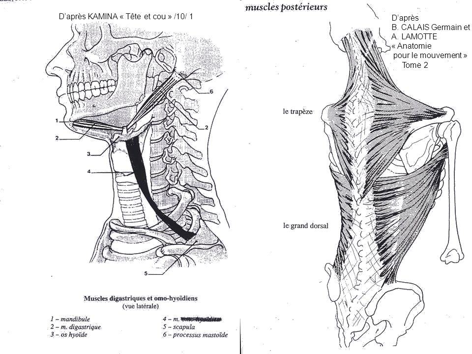 Daprès KAMINA « Tête et cou » /10/ 1 Daprès B. CALAIS Germain et A. LAMOTTE « Anatomie pour le mouvement » Tome 2