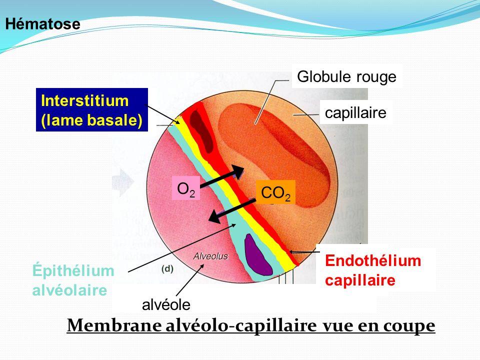 capillaire Globule rouge Membrane alvéolo-capillaire vue en coupe Interstitium (lame basale) Épithélium alvéolaire Endothélium capillaire O2O2 CO 2 al
