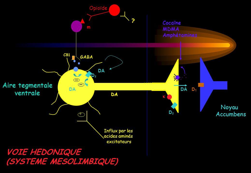 Noyau Accumbens DA D2D2 Cocaïne MDMA Amphétamines D1D1 Aire tegmentale ventrale DA D2D2 + Influx par les acides aminés excitateurs DA m GABA Opioïde ?