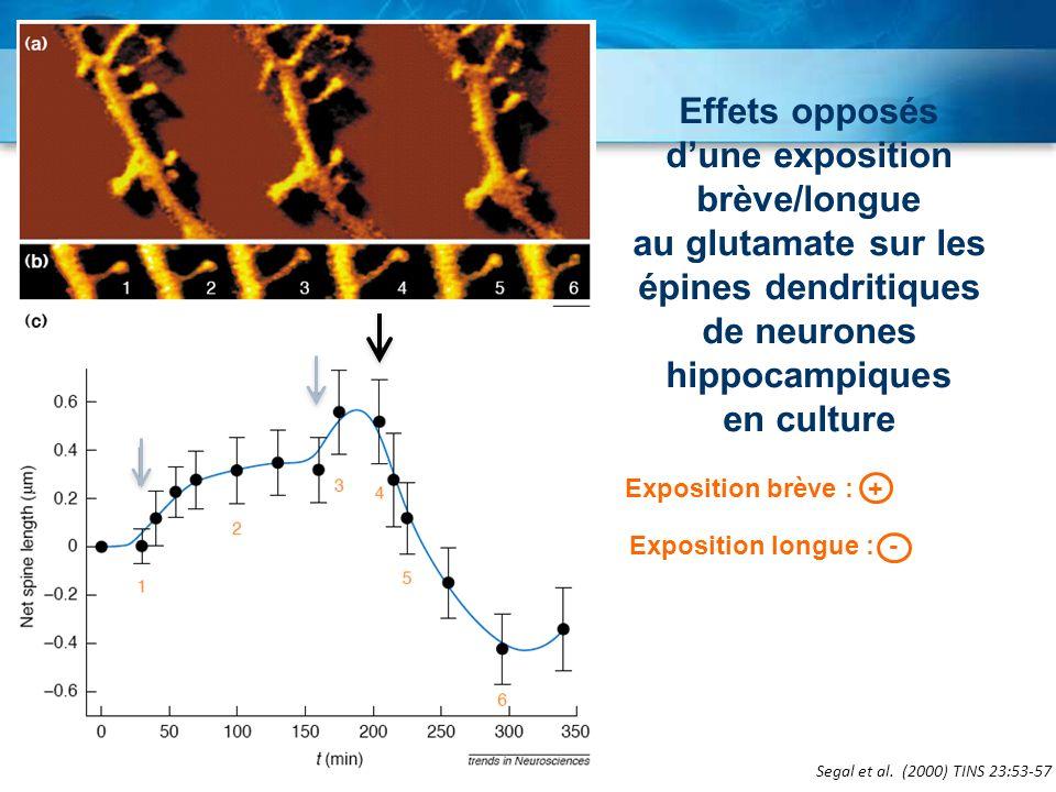 Segal et al. (2000) TINS 23:53-57 Effets opposés dune exposition brève/longue au glutamate sur les épines dendritiques de neurones hippocampiques en c