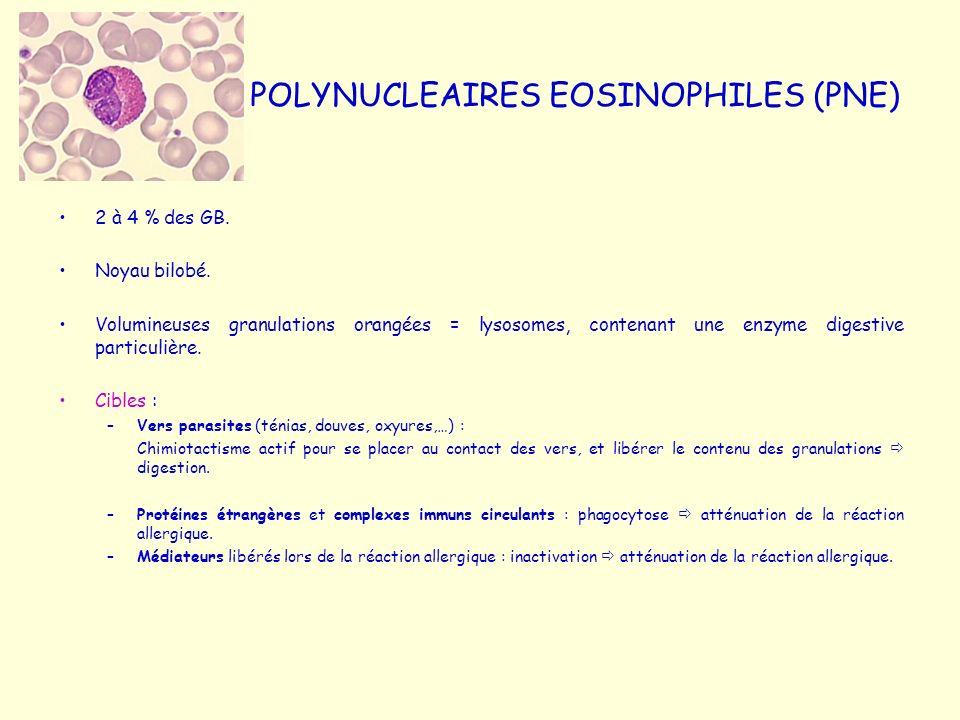 POLYNUCLEAIRES EOSINOPHILES (PNE) 2 à 4 % des GB. Noyau bilobé. Volumineuses granulations orangées = lysosomes, contenant une enzyme digestive particu