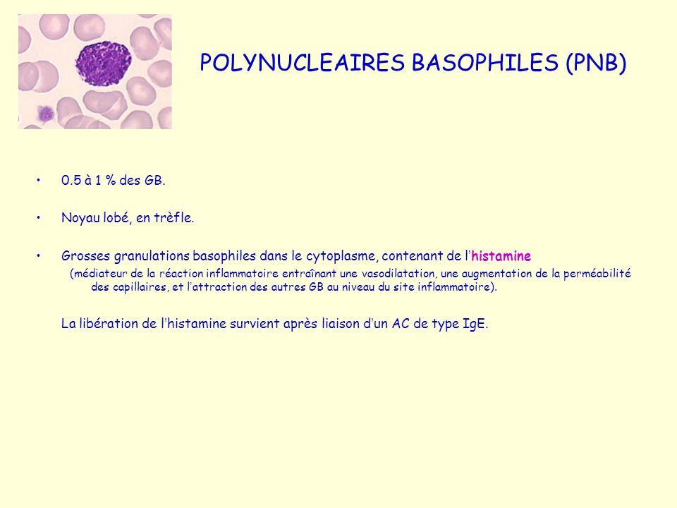 POLYNUCLEAIRES BASOPHILES (PNB) 0.5 à 1 % des GB. Noyau lobé, en trèfle. Grosses granulations basophiles dans le cytoplasme, contenant de l histamine