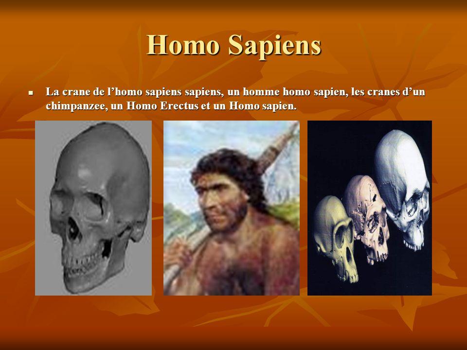 Homo Sapiens La crane de lhomo sapiens sapiens, un homme homo sapien, les cranes dun chimpanzee, un Homo Erectus et un Homo sapien.