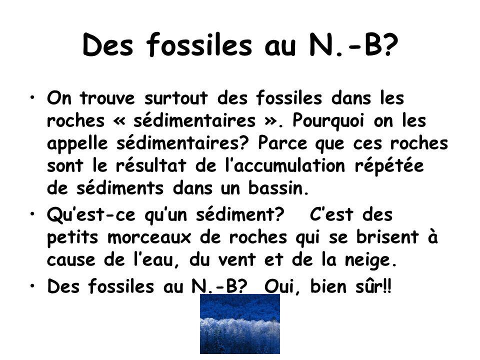 Des fossiles au N.-B? On trouve surtout des fossiles dans les roches « sédimentaires ». Pourquoi on les appelle sédimentaires? Parce que ces roches so