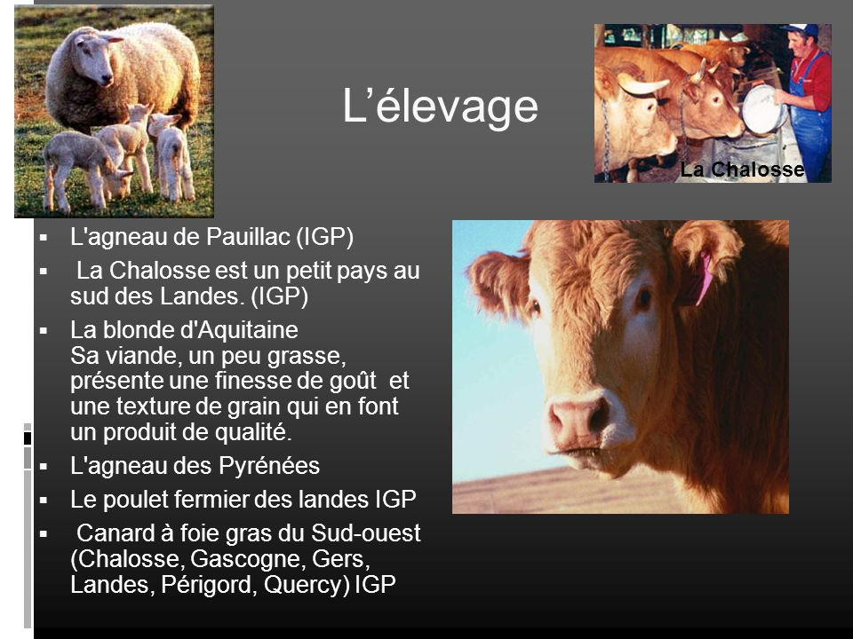 Lélevage L'agneau de Pauillac (IGP) La Chalosse est un petit pays au sud des Landes. (IGP) La blonde d'Aquitaine Sa viande, un peu grasse, présente un