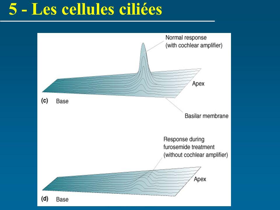 5 - Les cellules ciliées
