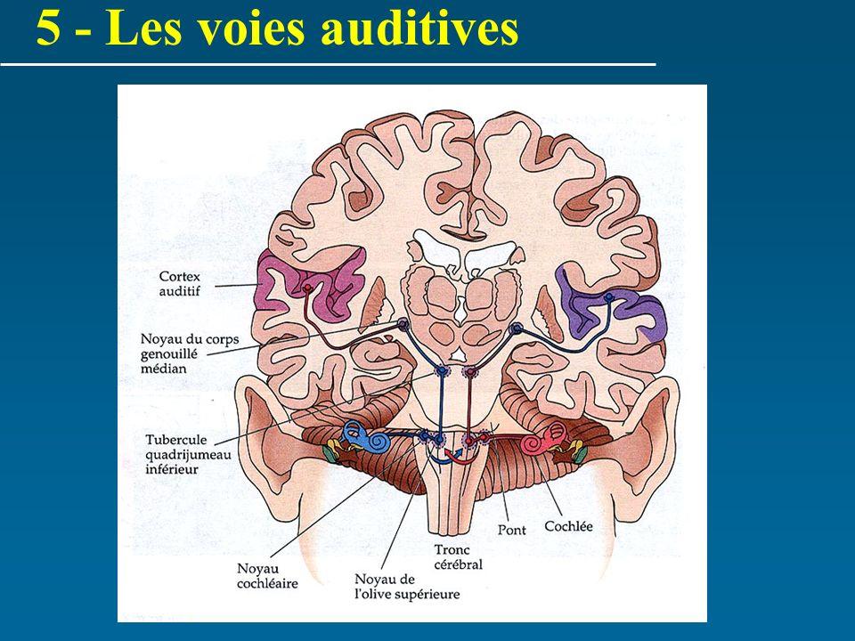5 - Les voies auditives