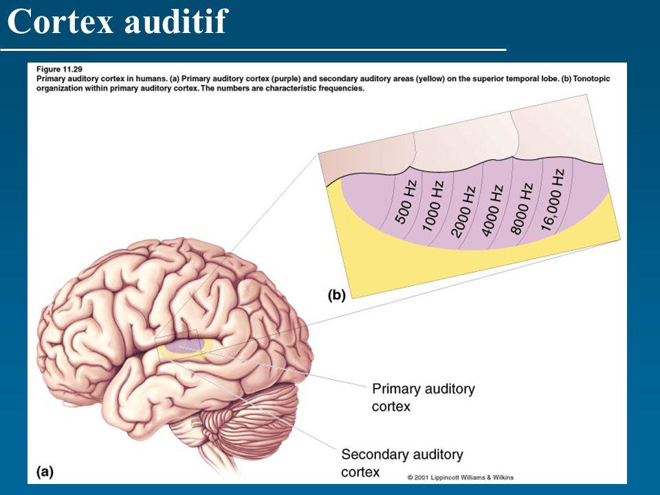 Cortex auditif