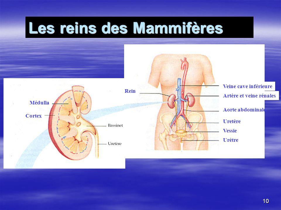 Rein Veine cave inférieure Artère et veine rénales Aorte abdominale Uretère Vessie Urètre Médulla Cortex Bassinet Uretère Les reins des Mammifères 10