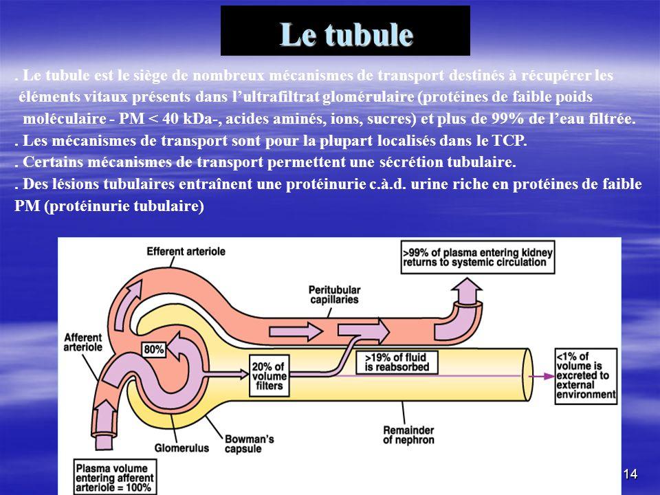 Le tubule. Le tubule est le siège de nombreux mécanismes de transport destinés à récupérer les éléments vitaux présents dans lultrafiltrat glomérulair