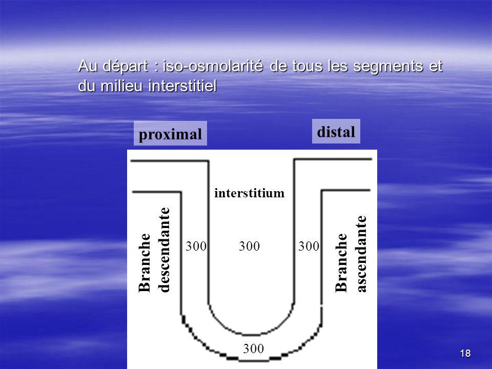 Au départ : iso-osmolarité de tous les segments et du milieu interstitiel 300 proximal distal interstitium Branche descendante Branche ascendante 300