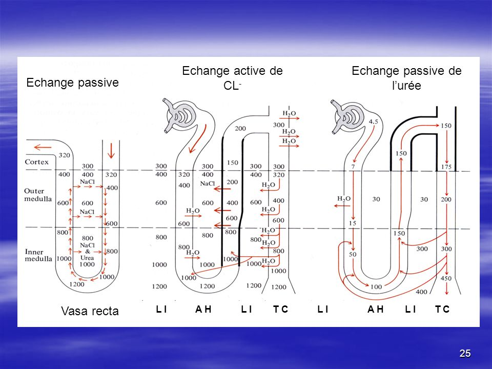 Echange passive L I A H L I T C L I A H L I T C Echange passive de lurée Echange active de CL - Vasa recta 25