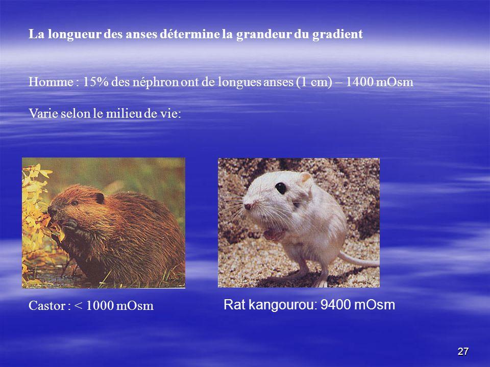 La longueur des anses détermine la grandeur du gradient Homme : 15% des néphron ont de longues anses (1 cm) – 1400 mOsm Varie selon le milieu de vie: