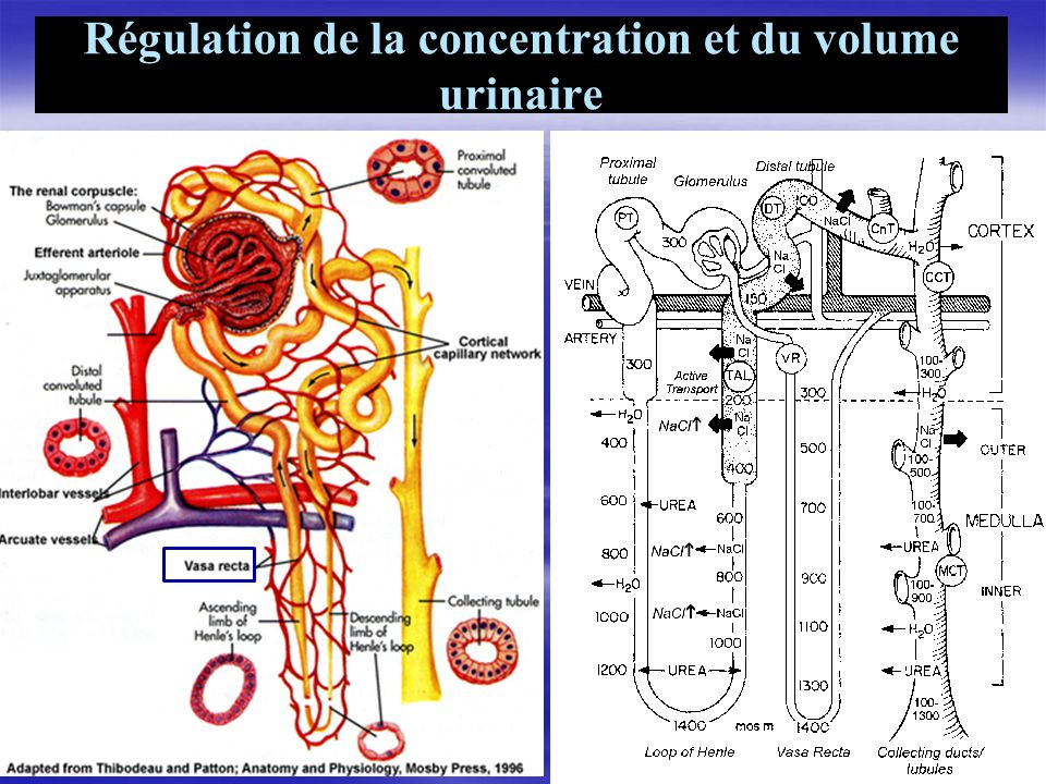 Régulation de la concentration et du volume urinaire 29