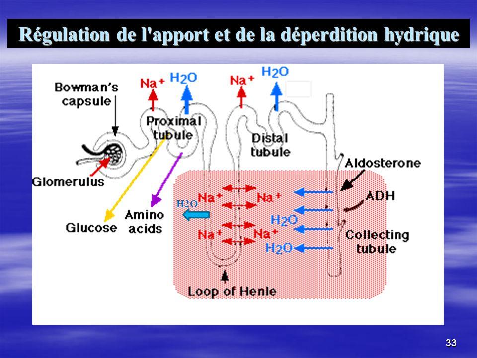 33 Régulation de l'apport et de la déperdition hydrique H2O