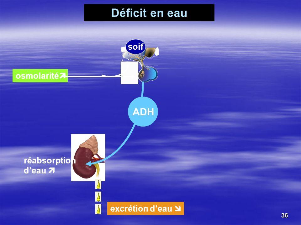 Déficit en eau osmolarité soif ADH réabsorption deau excrétion deau 36