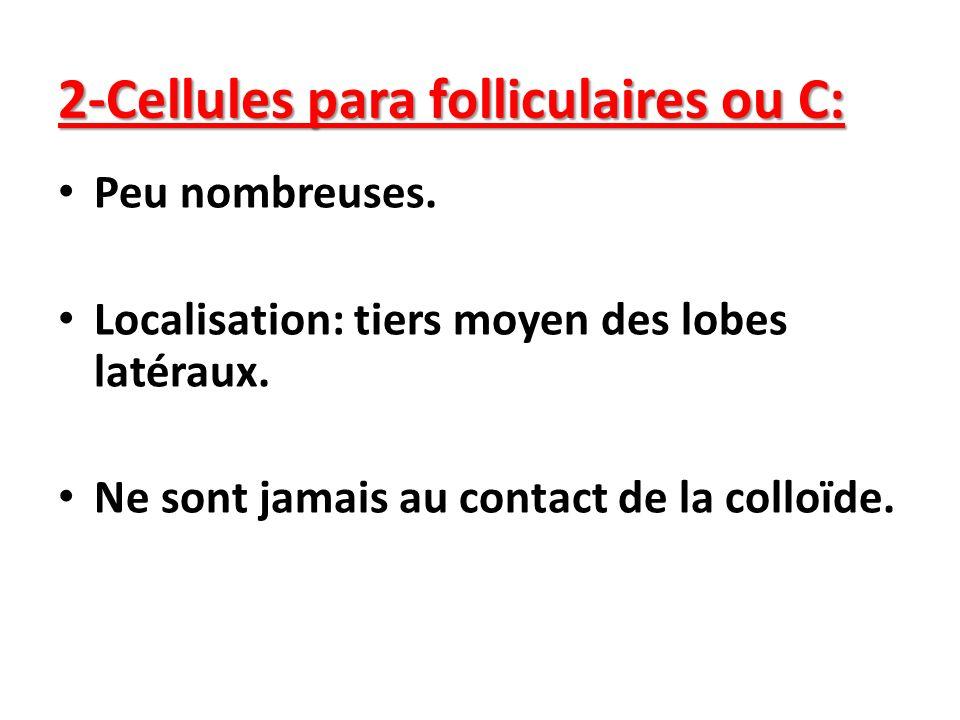 2-Cellules para folliculaires ou C: Peu nombreuses. Localisation: tiers moyen des lobes latéraux. Ne sont jamais au contact de la colloïde.