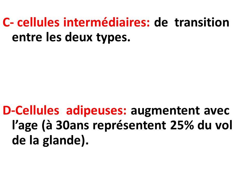 C- cellules intermédiaires: de transition entre les deux types. D-Cellules adipeuses: augmentent avec lage (à 30ans représentent 25% du vol de la glan