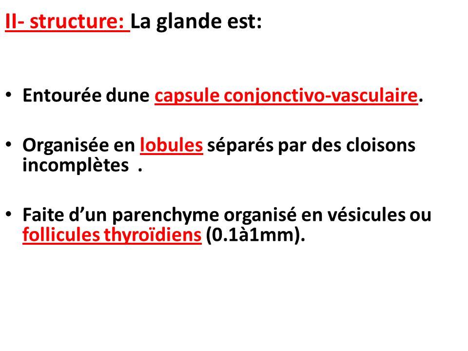 II- structure: La glande est: Entourée dune capsule conjonctivo-vasculaire. Organisée en lobules séparés par des cloisons incomplètes. Faite dun paren