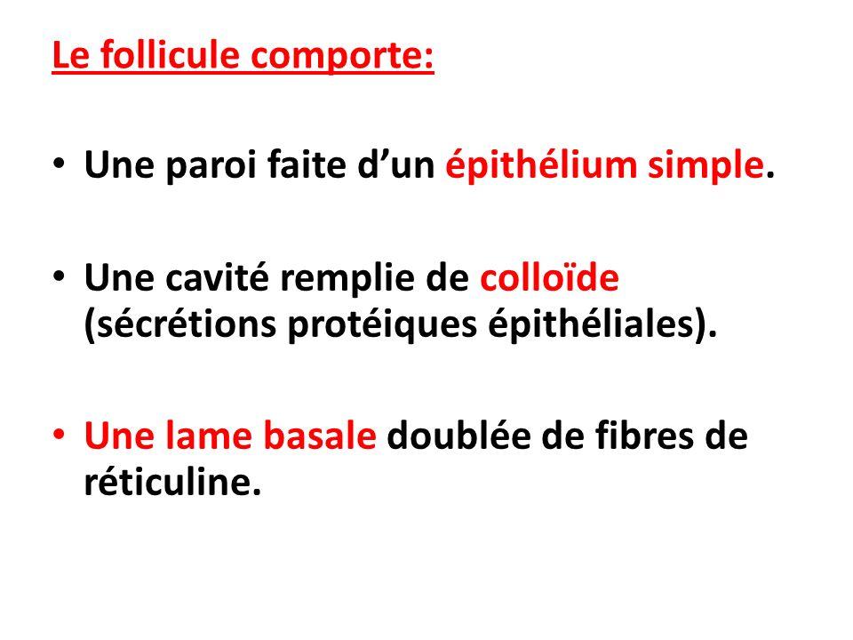 Le follicule comporte: Une paroi faite dun épithélium simple. Une cavité remplie de colloïde (sécrétions protéiques épithéliales). Une lame basale dou