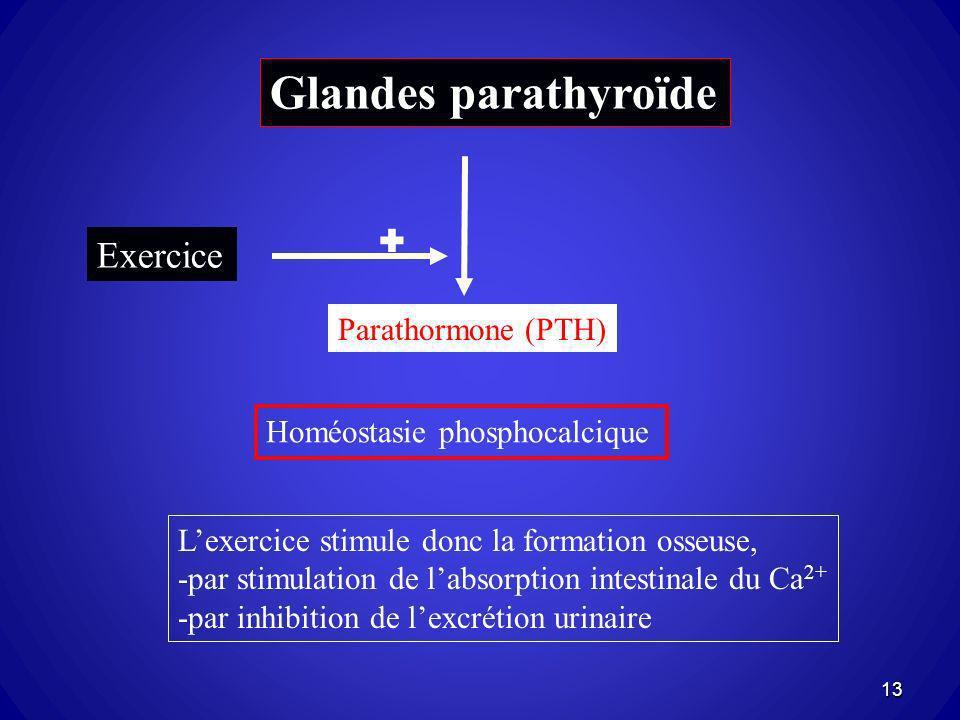 Glandes parathyroïde Homéostasie phosphocalcique Parathormone (PTH) Lexercice stimule donc la formation osseuse, -par stimulation de labsorption intes