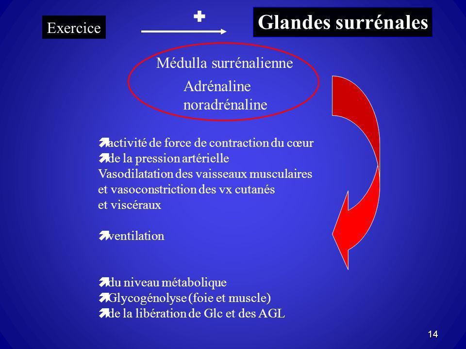 Glandes surrénales Exercice Médulla surrénalienne Adrénaline noradrénaline activité de force de contraction du cœur de la pression artérielle Vasodila