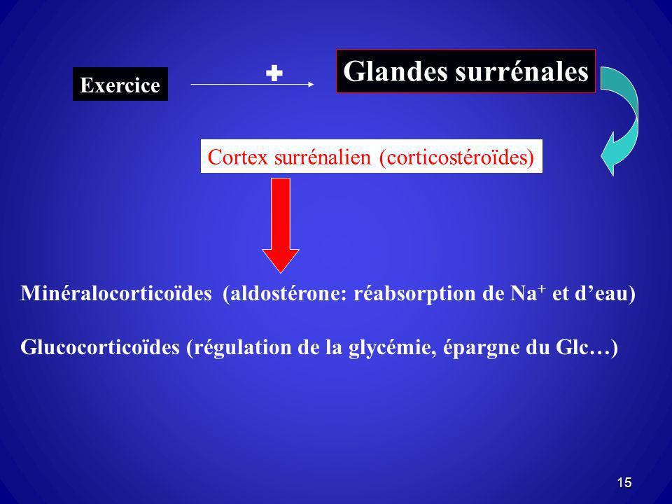 Glandes surrénales Exercice Cortex surrénalien (corticostéroïdes) Minéralocorticoïdes (aldostérone: réabsorption de Na + et deau) Glucocorticoïdes (ré