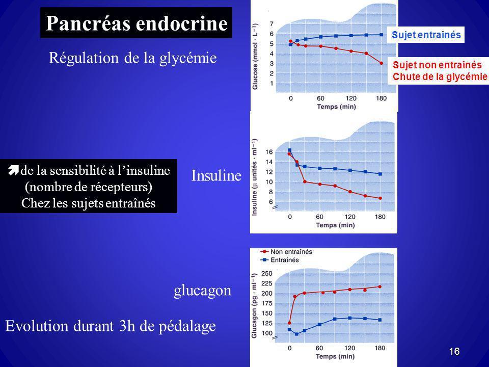 de la sensibilité à linsuline (nombre de récepteurs) Chez les sujets entraînés Evolution durant 3h de pédalage Insuline Pancréas endocrine Régulation