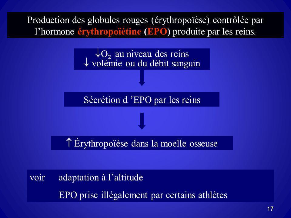 Production des globules rouges (érythropoïèse) contrôlée par lhormone érythropoïétine (EPO) produite par les reins. voir adaptation à laltitude EPO pr