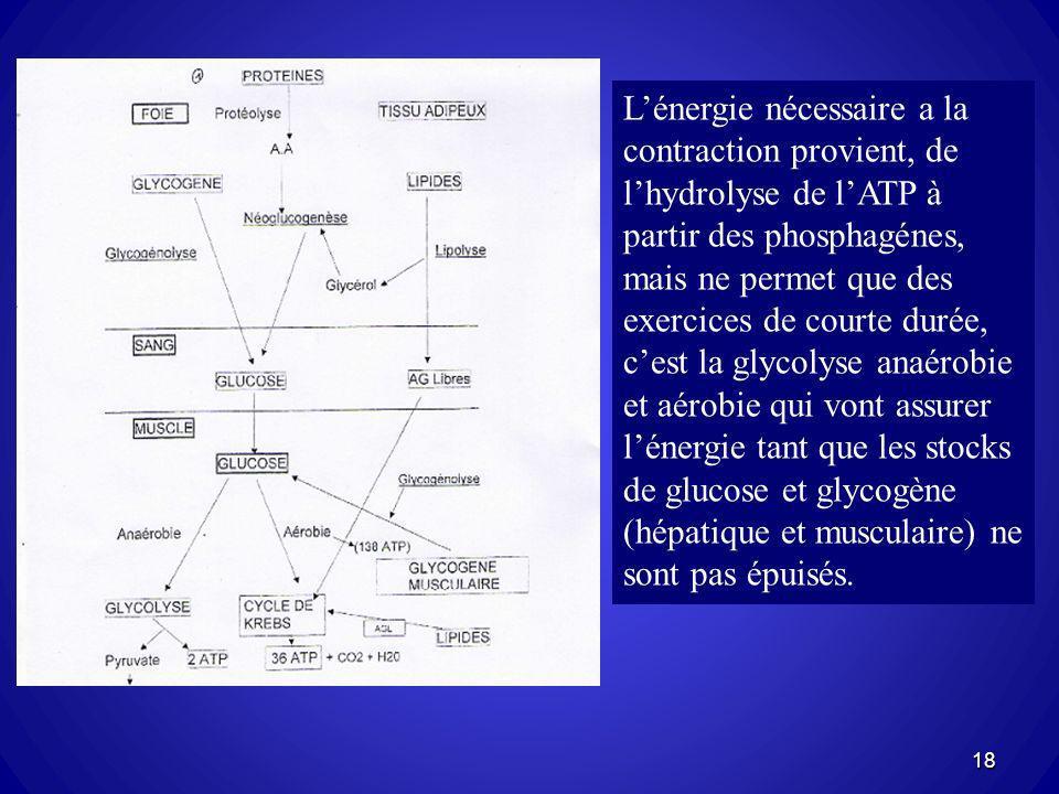 18 Lénergie nécessaire a la contraction provient, de lhydrolyse de lATP à partir des phosphagénes, mais ne permet que des exercices de courte durée, c