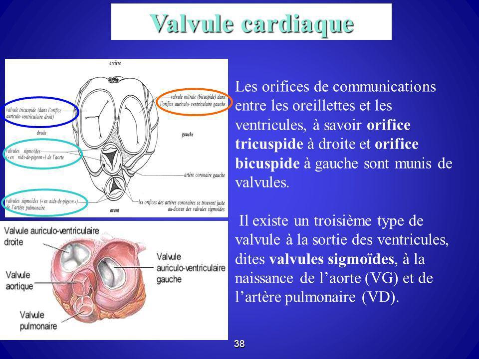 38 Les orifices de communications entre les oreillettes et les ventricules, à savoir orifice tricuspide à droite et orifice bicuspide à gauche sont mu