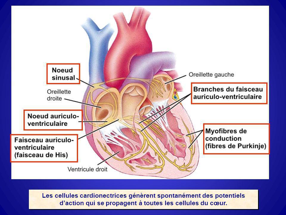 Les cellules cardionectrices génèrent spontanément des potentiels daction qui se propagent à toutes les cellules du cœur.