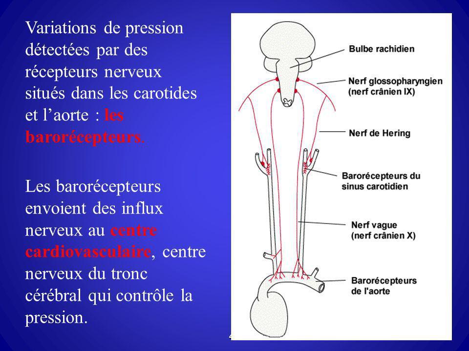 43 Variations de pression détectées par des récepteurs nerveux situés dans les carotides et laorte : les barorécepteurs. Les barorécepteurs envoient d