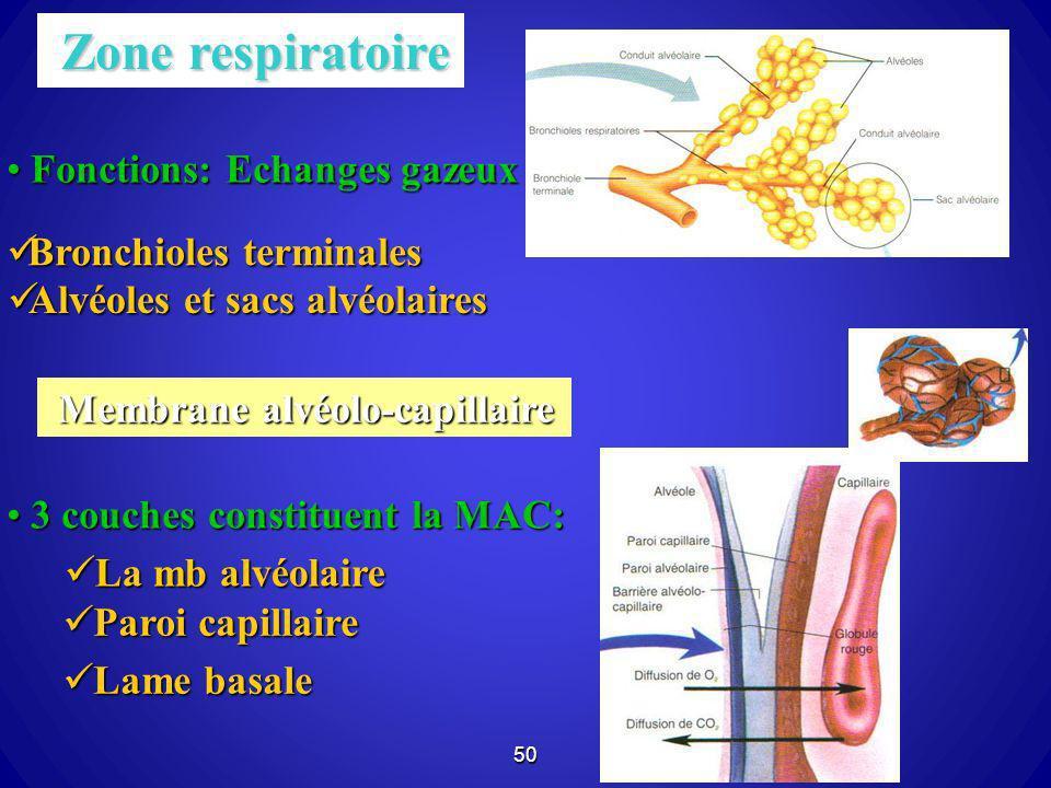 50 Zone respiratoire Zone respiratoire Fonctions: Echanges gazeux Fonctions: Echanges gazeux Bronchioles terminales Bronchioles terminales Alvéoles et