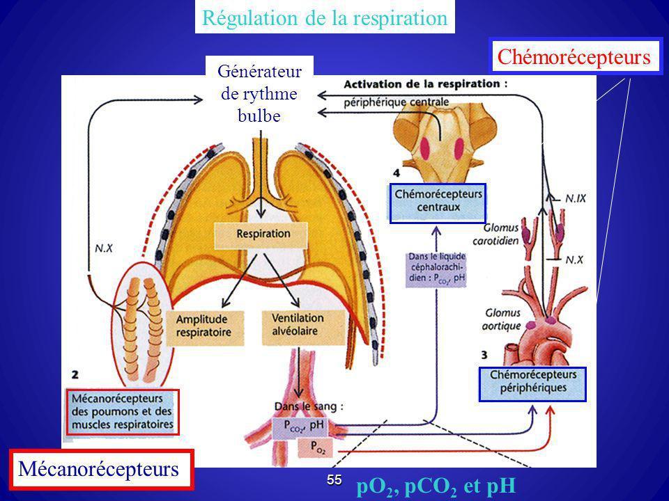55 Générateur de rythme bulbe Régulation de la respiration Mécanorécepteurs Chémorécepteurs pO 2, pCO 2 et pH