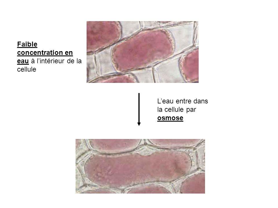 Faible concentration en eau à lintérieur de la cellule Leau entre dans la cellule par osmose