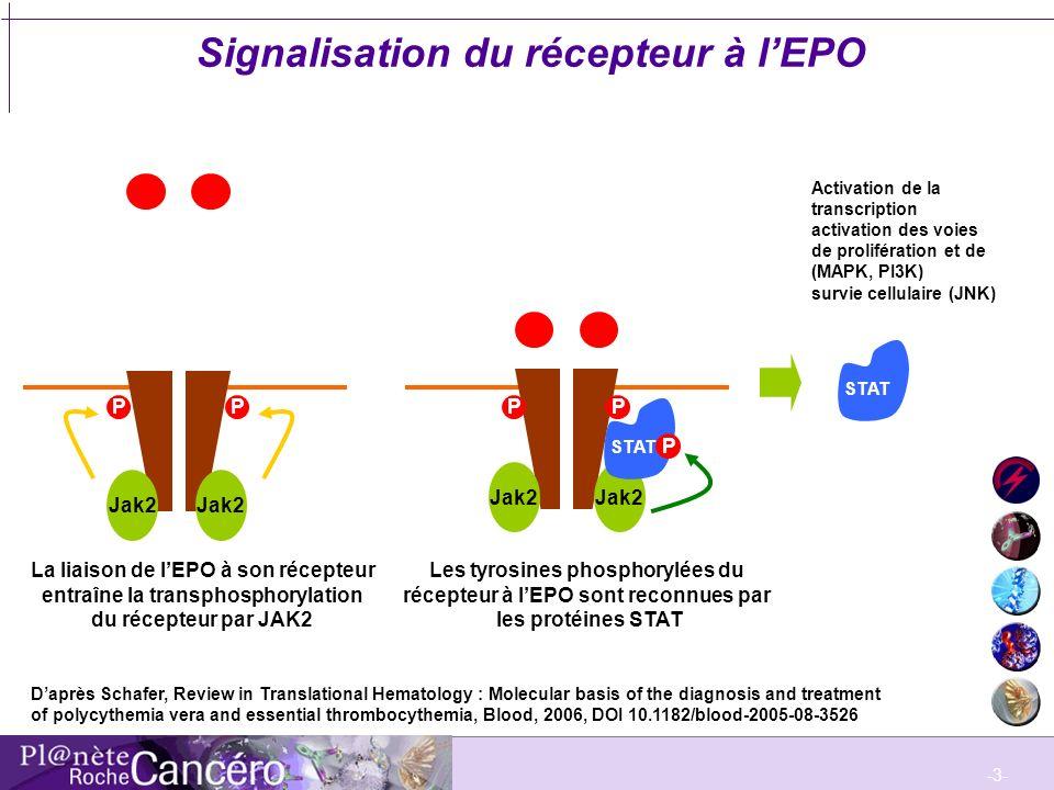 -3- Signalisation du récepteur à lEPO PP Jak2 STAT La liaison de lEPO à son récepteur entraîne la transphosphorylation du récepteur par JAK2 Les tyros