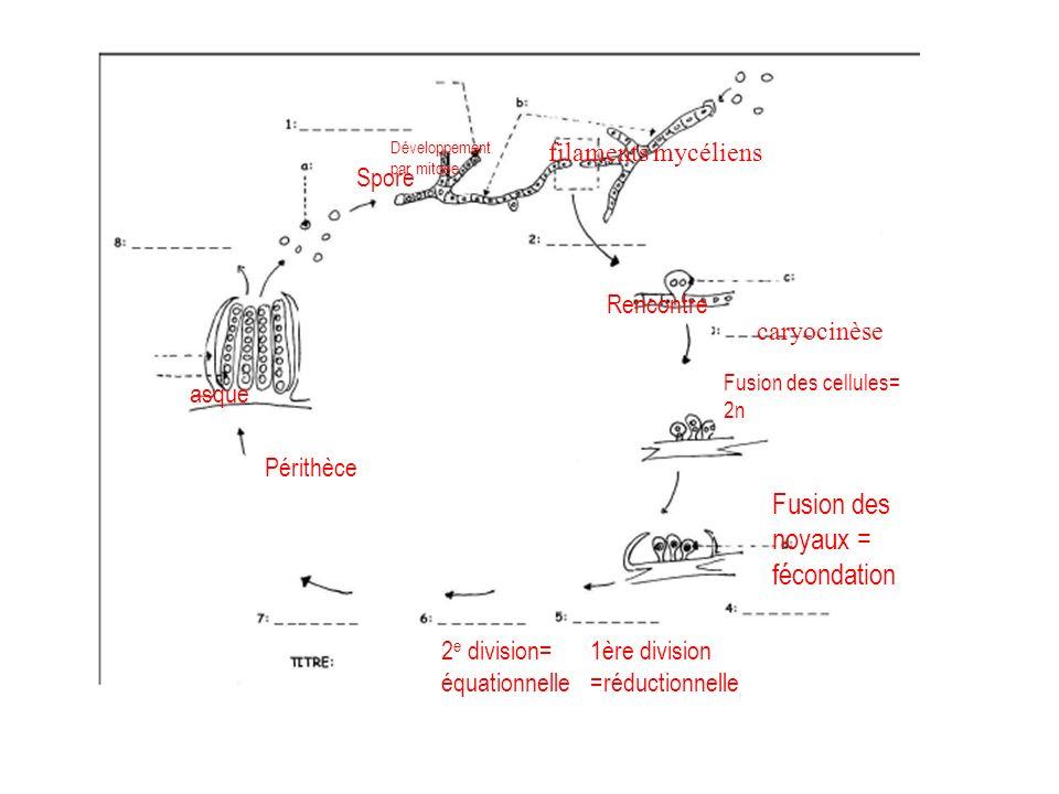 périthèces filaments mycéliens caryocinèse filaments mycéliens Spore Périthèce asque Développement par mitose Rencontre Fusion des cellules= 2n Fusion