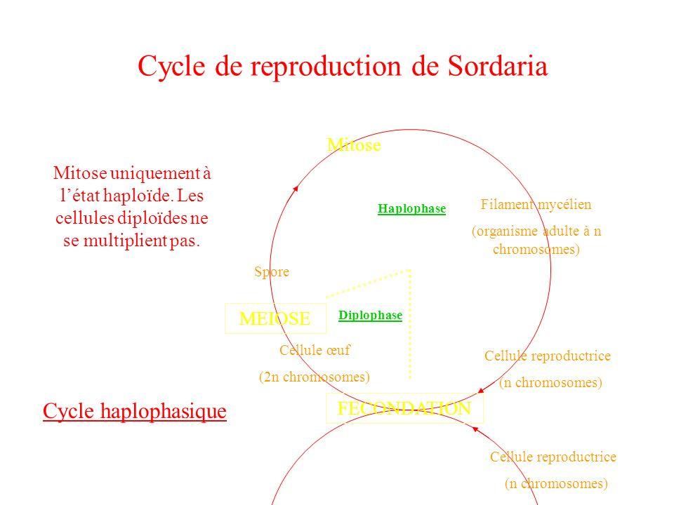 Cycle de reproduction de Sordaria Cellule reproductrice (n chromosomes) FECONDATION Cellule œuf (2n chromosomes) MEIOSE Mitose Filament mycélien (orga
