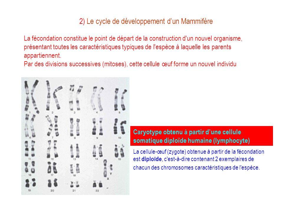 2) Le cycle de développement dun Mammifère La fécondation constitue le point de départ de la construction d'un nouvel organisme, présentant toutes les
