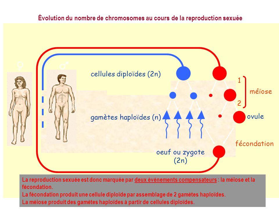 fécondation méïose 1 2 cellules diploïdes (2n) gamètes haploïdes (n) oeuf ou zygote (2n) ovule Évolution du nombre de chromosomes au cours de la repro