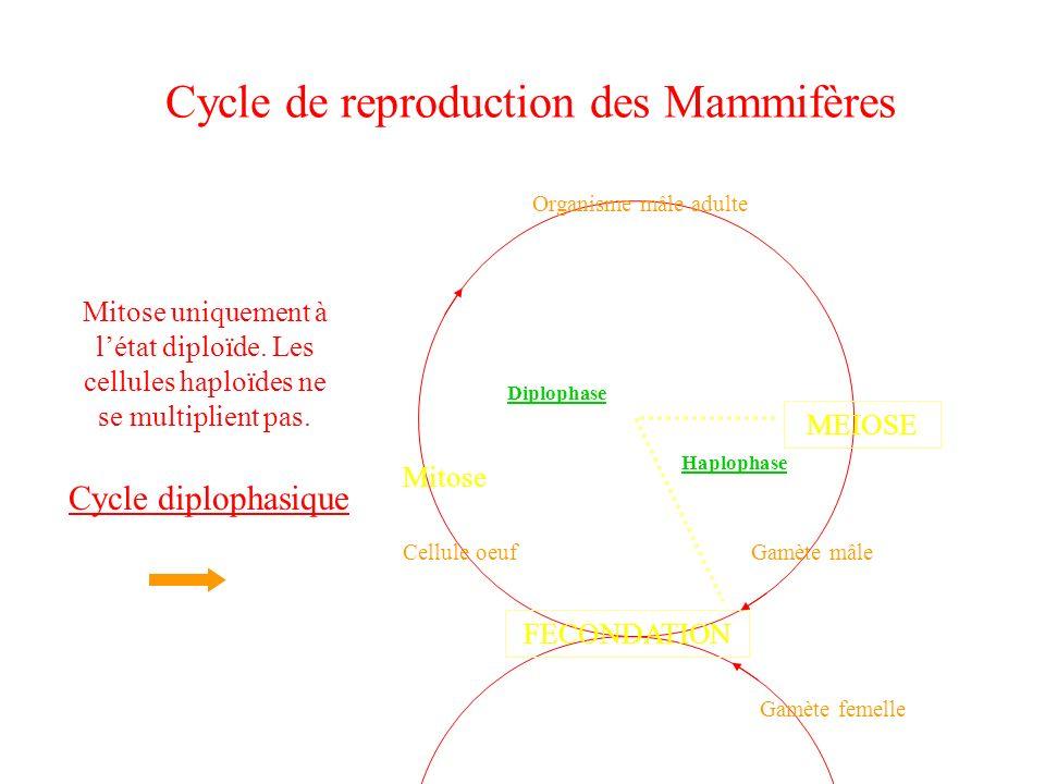 Cycle de reproduction des Mammifères Gamète mâle Gamète femelle FECONDATION Cellule oeuf MEIOSE Mitose Organisme mâle adulte Haplophase Diplophase Mit