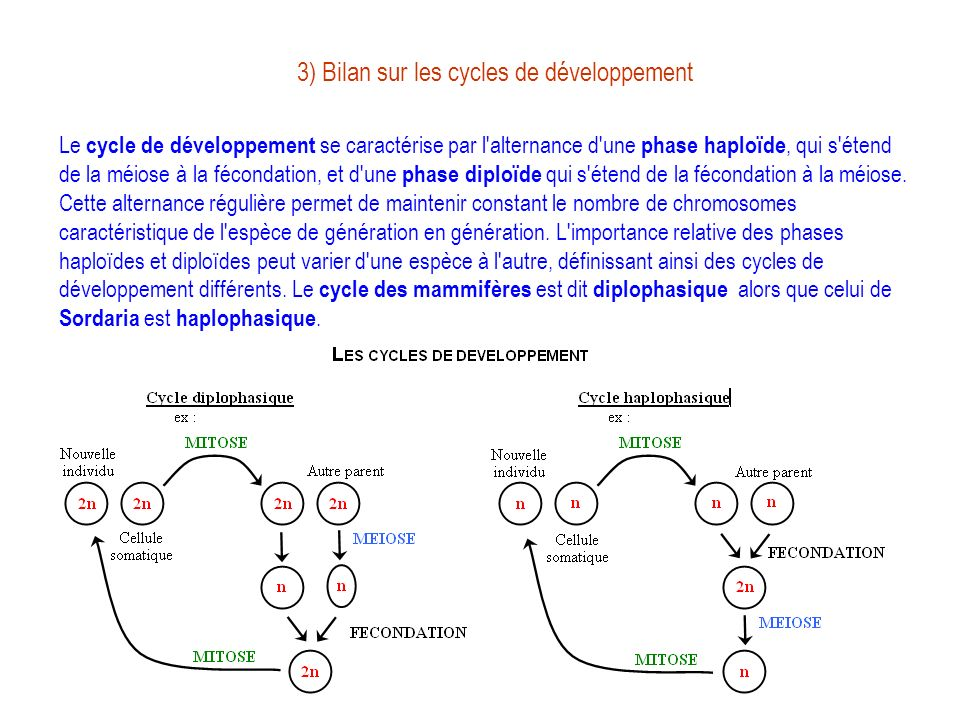 3) Bilan sur les cycles de développement Le cycle de développement se caractérise par l'alternance d'une phase haploïde, qui s'étend de la méiose à la