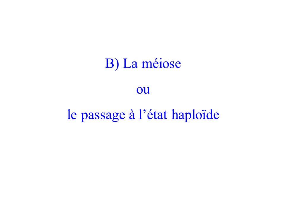 B) La méiose ou le passage à létat haploïde