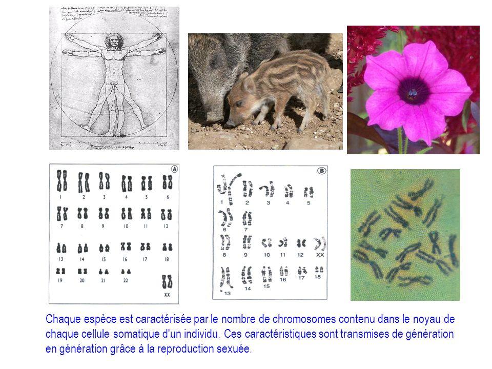 Chaque espèce est caractérisée par le nombre de chromosomes contenu dans le noyau de chaque cellule somatique d'un individu. Ces caractéristiques sont