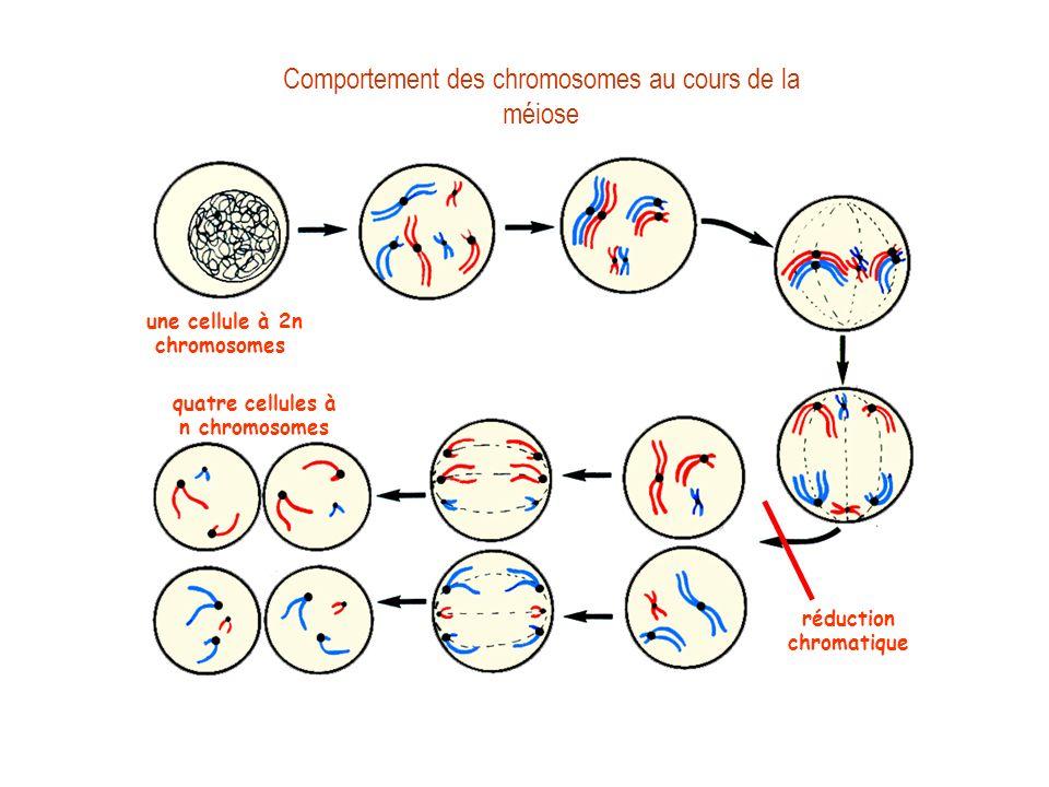 Comportement des chromosomes au cours de la méiose prophase 1 : appariement des chromosomes homologues une cellule à 2n chromosomes métaphase 1 anapha